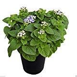Aloha Blue Dwarf Ageratum-Pellet Seeds,Floss Flower,Early Variety. (30 Seeds)