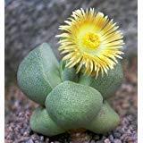 SPLIT ROCK (Pleiospilos bolusii) 20 seeds