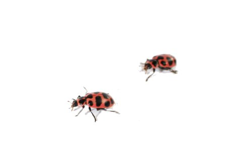 Insect Lore Live Baby Ladybug Larvae - Ladybug Growing Kit REFILL with Ladybug Life Cycle Toy Figurines - SHIP NOW by Insect Lore (Image #5)