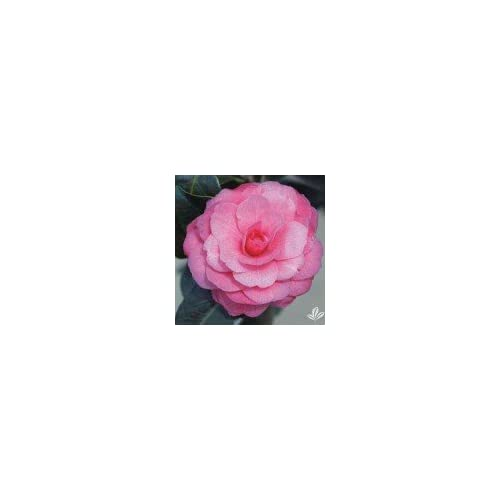 Nice (1 gallon) Camellia APRIL KISS- COLD HARDY,Showy Rose double blooms, lovely evergreen shrub has small medium red formal double flowers in early spring