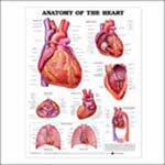Anatomical Chart Company Anatomy Of The Heart Chart - 1587798441