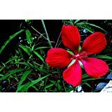 New Red TEXAS STAR HIBISCUS Coccineus Scarlet Rosemallow Hummingbird Flower 10+ Seeds