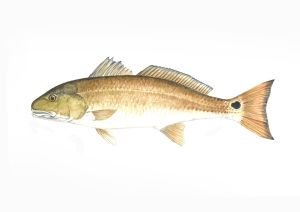 Redfish, framed black wood, white matte (Framed Redfish)