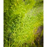 510mg Wild Fennel ~100 Seeds ~ Imported Italian Heirloom herb Ornamental Plant