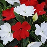Impatiens Seeds 25 New Guinea Impatiens Divine Red & White Mix