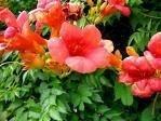 25 Orange HUMMINGBIRD TRUMPET CREEPER Campsis Radicans Vine Flower Seeds by Seedville Trumpet Creeper Plant