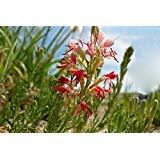 100 Flowered Gaura Seeds, Butterfly Flower, Gaura Longiflora -Biennial Bee Blossom