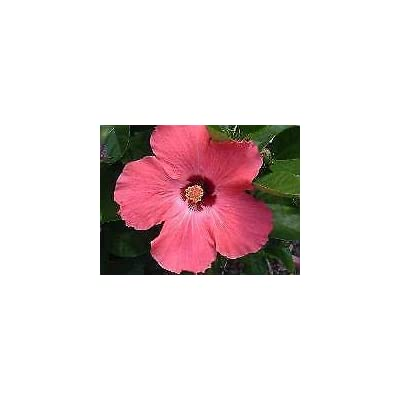 Hibiscus 'Painted Lady' - 1-2 FT Plant - Bush : Garden & Outdoor