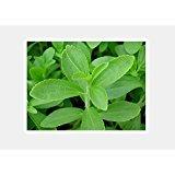 3 piante Stevia rebaudiana dolcificante naturale pianta resistente al freddo vaso 7x7
