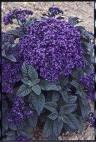 50 Blue MARINE HELIOTROPE Heliotropium Arborescens Flower Seeds