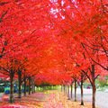 100% True Japanese Red Maple Tree Seeds, Professional Pack, 20 Seeds / Pack, Ornamental Garden Tree E3393