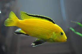 African Aquarium Cichlids (Pair of Yellow Lab Cichlid - Live Tropical Aquarium Fish)