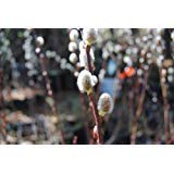 (set of 2 plants) 1 gallon French Pussy Willow Shrubs-,catkins Great for Vases, Good for Wet Spots,