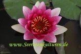 1 nénuphar variété Charles De Meurville, fleur rouge plantes d'étang