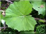 Petasites albus HUGE LEAVES Perennial Seeds!
