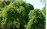 New Weeping Mulberry 20 Seeds Heirloom Non-GMO (Ornamental Edible)
