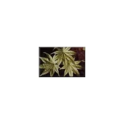 SHIGITATSU SAWA Variegated Japanese Maple - 1 year graft : Maple Trees : Garden & Outdoor