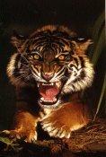 HMS Sumatran Tiger Poster