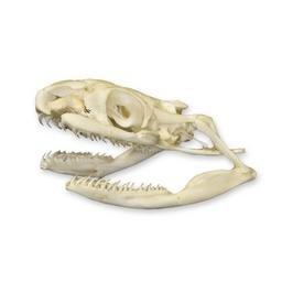 Non-Venomous Snake Skull (Natural Bone Quality A)