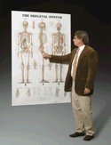 System Anatomical Chart Skeletal - Skeletal System Anatomical Chart (Giant Size 42