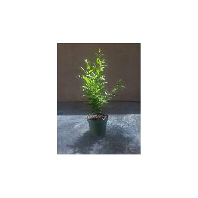 "Dwarf Pomegrante Tree Container/Patio/Bonsai Size in 4"" Pot Mature Easy Care from Grandiosy Farm : Garden & Outdoor"