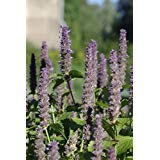 (Anise Hyssop Anise Hyssop - herb - Licorice Scented Foliage, 1234+ Seeds! nLG -428)