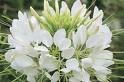 ME (Spider Flower) Cleome Hasslerana Flower Seeds ()
