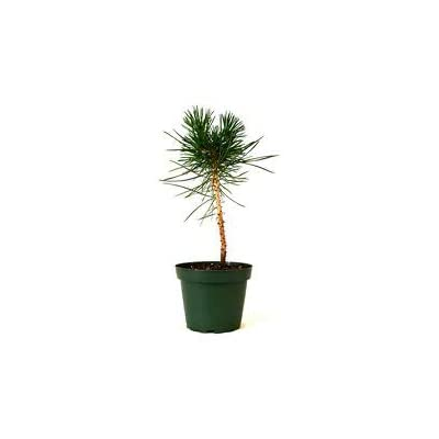 "Japanese Black Pine 4"" Pot Bonsai Starter Plant Easy to Care Indoor/Outdoor Gift from Grandiosy Farm : Garden & Outdoor"
