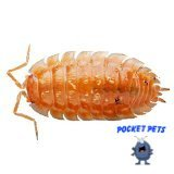Live Orange Smoothie Roly Polys! Rolie Polie Isopods by Pocket Pets