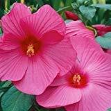 (SVI 15+ Pink Dinner Plate Hibiscus Flower Seeds/ 10-12 inch Flowers/perennials)