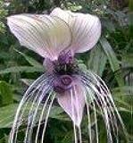 """Weiße Fledermausblume """"White-Bat-Flower"""" - Tacca integrifolia *10 Samen* >Teufelsblume<"""