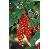 """Red CURRANT Berry ~Perfection~ """"Ribes Sativum"""" NEW 15+ Perennial Seeds"""