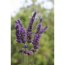 (3 Grosso French Lavender - LAVANDIN x Intermedia 'Grosso' -Three Live Perennials)