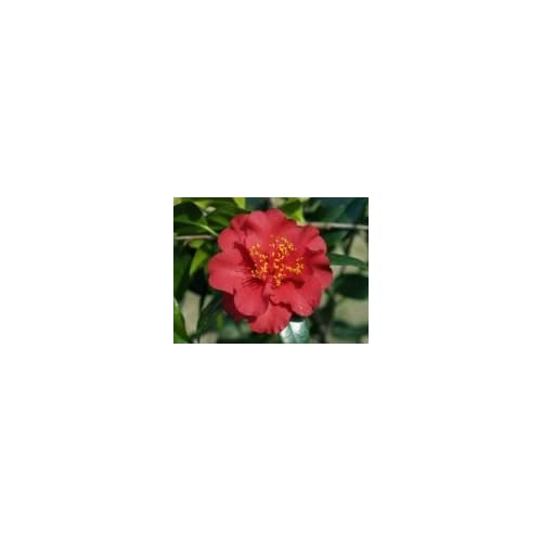 Cheap (3 Gallon) Camellia MAROON AND GOLD