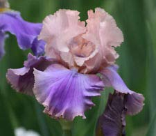 Florentine Silk Bearded Iris - Bicolor - Top Size Rhizome