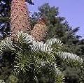 Abies nordmanniana NORDMAN FIR Tree Seeds!
