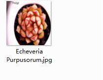 3Pcs A Set Echeveria Purpusorum Plant Crassula Perforata - (Color: 3 Echeveria Purpusor) by Kasuki (Image #1)