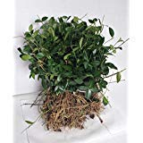 - GreenwoodNursery.com Vinca Evergreen Ground Cover Plants | 50 Fast Growing Plants