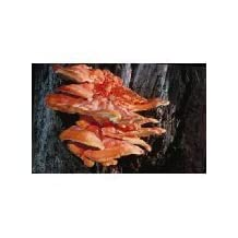 Chicken of the Woods Mushroom Mycelium Plug Spawn (Laetiporus sulphureus)