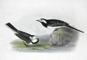 Pied Wagtail - Motacilla alba