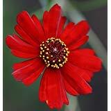 - coreopsis, PLAINS, DWARF RED , 450 seeds! GroCo