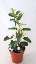 (Jasmine Madagascar Plant Stephanotis Flowers Blooms 4
