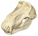 Chacma Baboon Skull (Male) (Teaching Quality Replica)