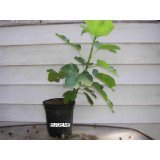 Italian Edible Fig Tree 2 Years Old 2'+ Expedited Shipping Free Upgrade