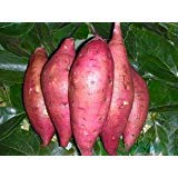 Giant Sweet Potato Seeds Health Anti-wrinkle Nutrition Green Vegetable Seed For Home Garden 50pcs/bag