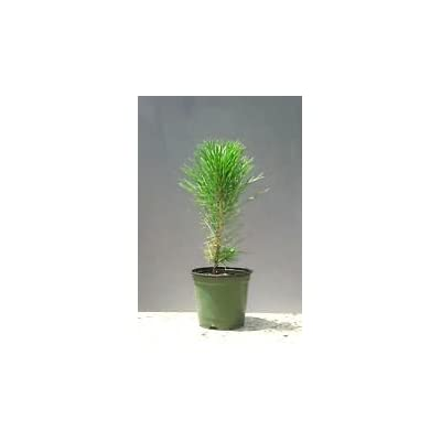 JAPANESE BLACK PINE - BONSAI STARTER - Pinus thunbergii - 3 - YEAR TREE: Garden & Outdoor