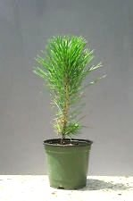JAPANESE BLACK PINE - BONSAI STARTER - Pinus thunbergii - 3 - YEAR TREE