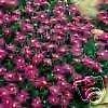 Delosperma cooperi PURPLE ICE PLANT Hardy Exotic SEEDS!