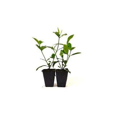 Gardenia Jasminoides 'Veitchii' - Fragrant - 2 Pack Hardy Fragrant Fresh Mature from Grandiosy Farm : Garden & Outdoor