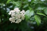 3 gal,'summer snowflake' Viburnum , lots of white blooms from may-sept,